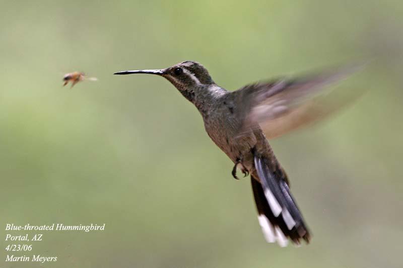 6dd9a1c1b9 Thumbnail of named item displayed Blue-throated. Hummingbird