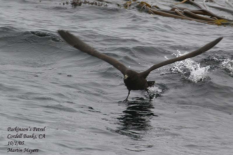 Parkinson's Petrel, showing legs