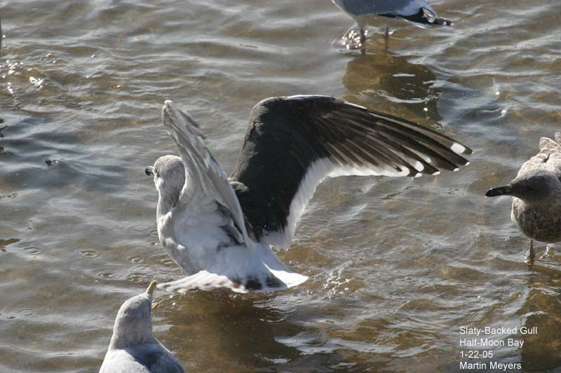 Slaty-backed Gull with wings spread