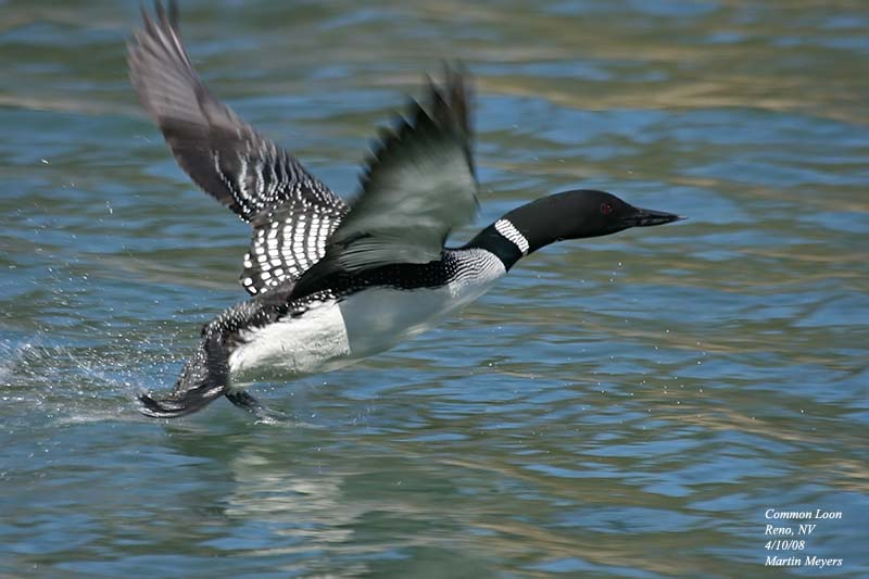 common loon images. Common Loon Reno, NV, 4/10/08