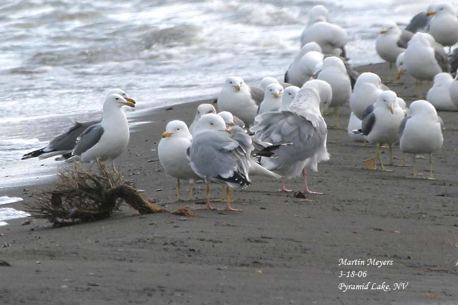 Odd gull standing next to adult Herring Gull for leg color comparison