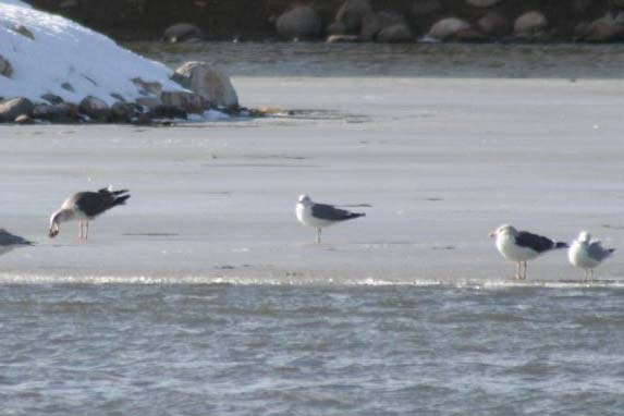 Lesser Black-backed Gull with other gulls, Dennis Ghiglieri