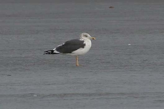 Lesser Black-backed Gull, standing on ice, Greg Scyphers